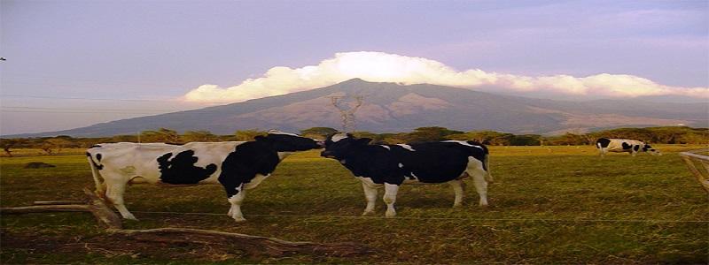 vache-au-costa-rica